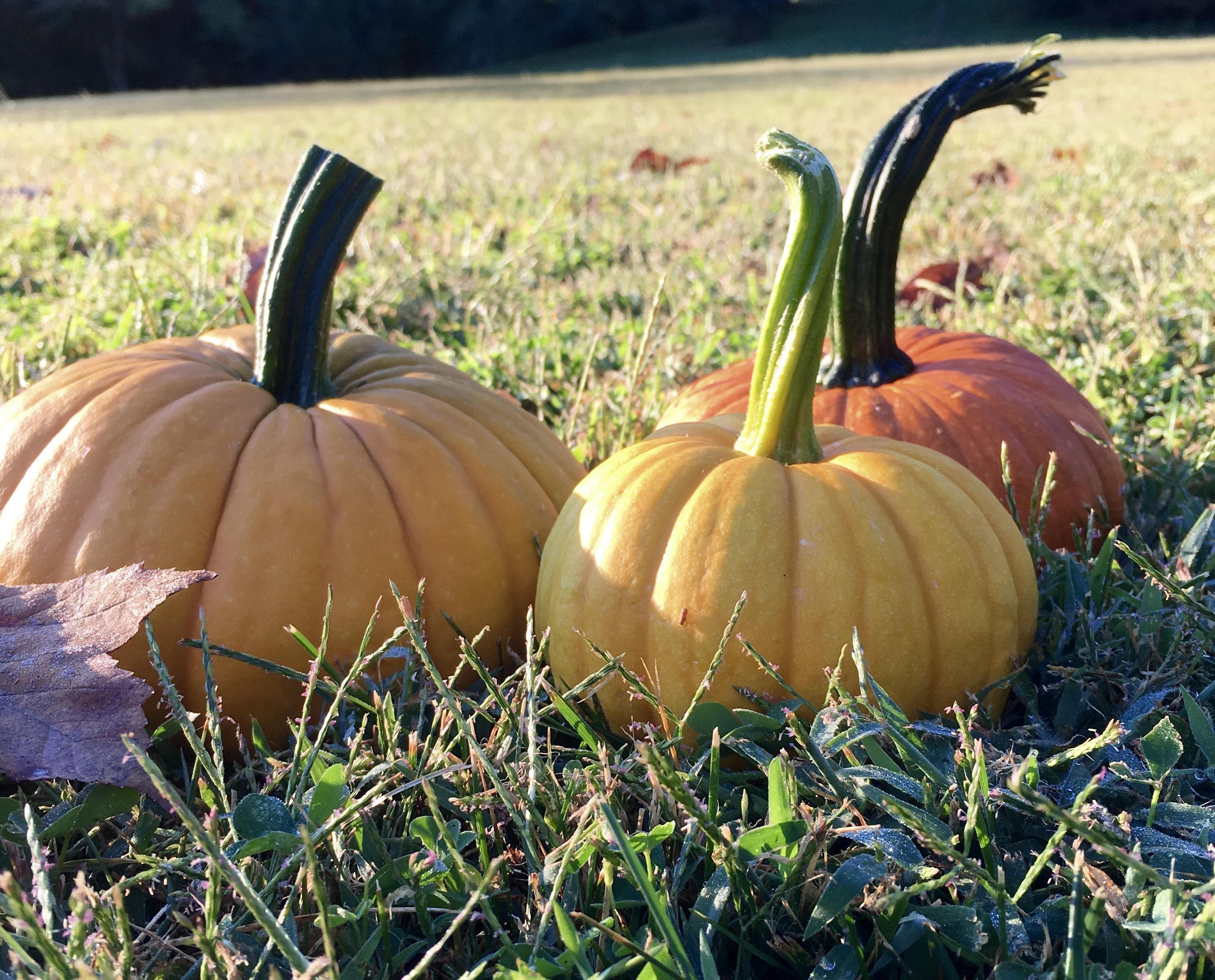 pumpkins in the yard