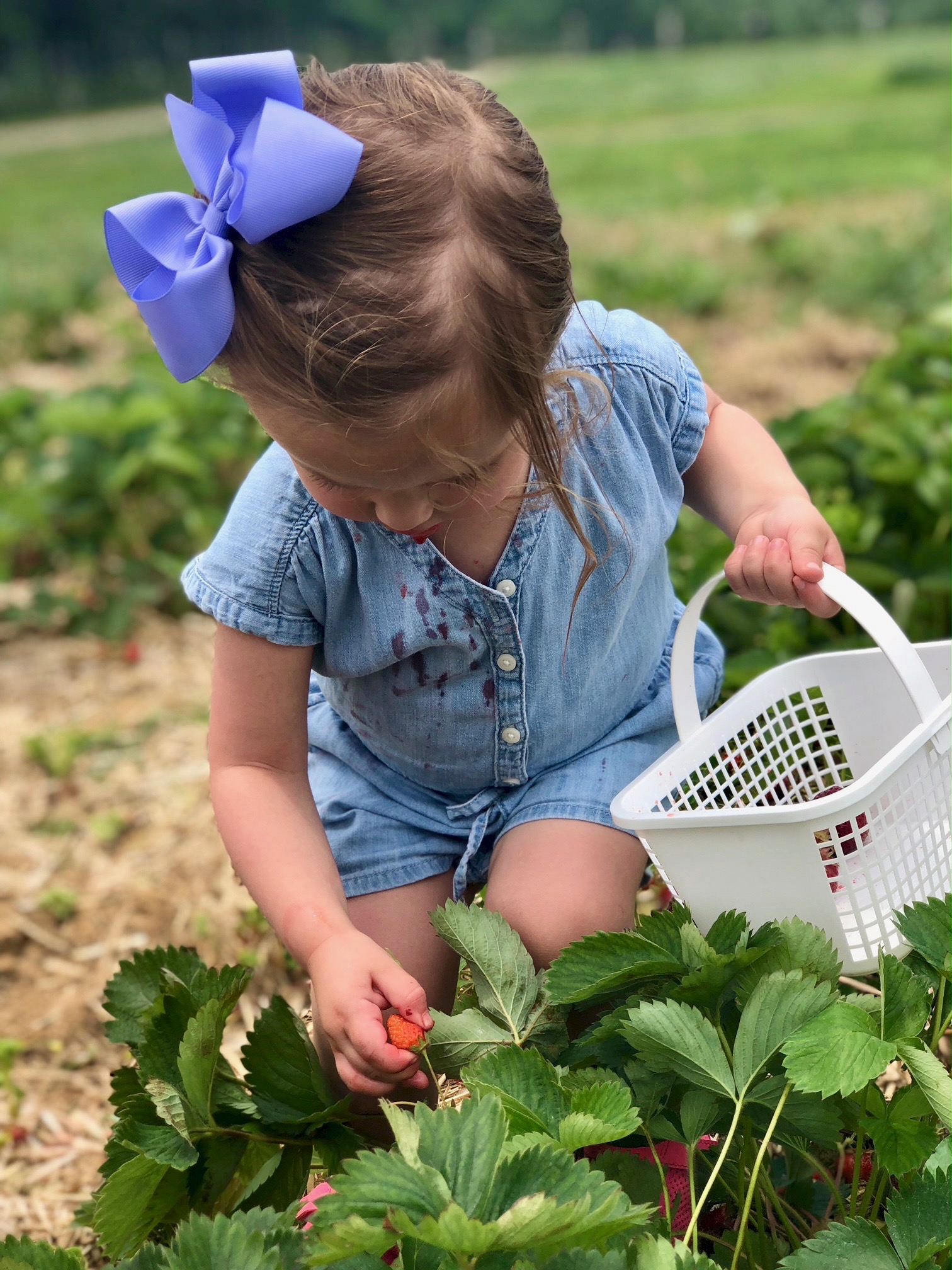 grand daughter picking strawberries