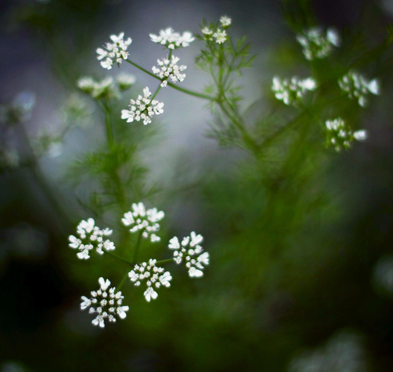 garden dill flowers