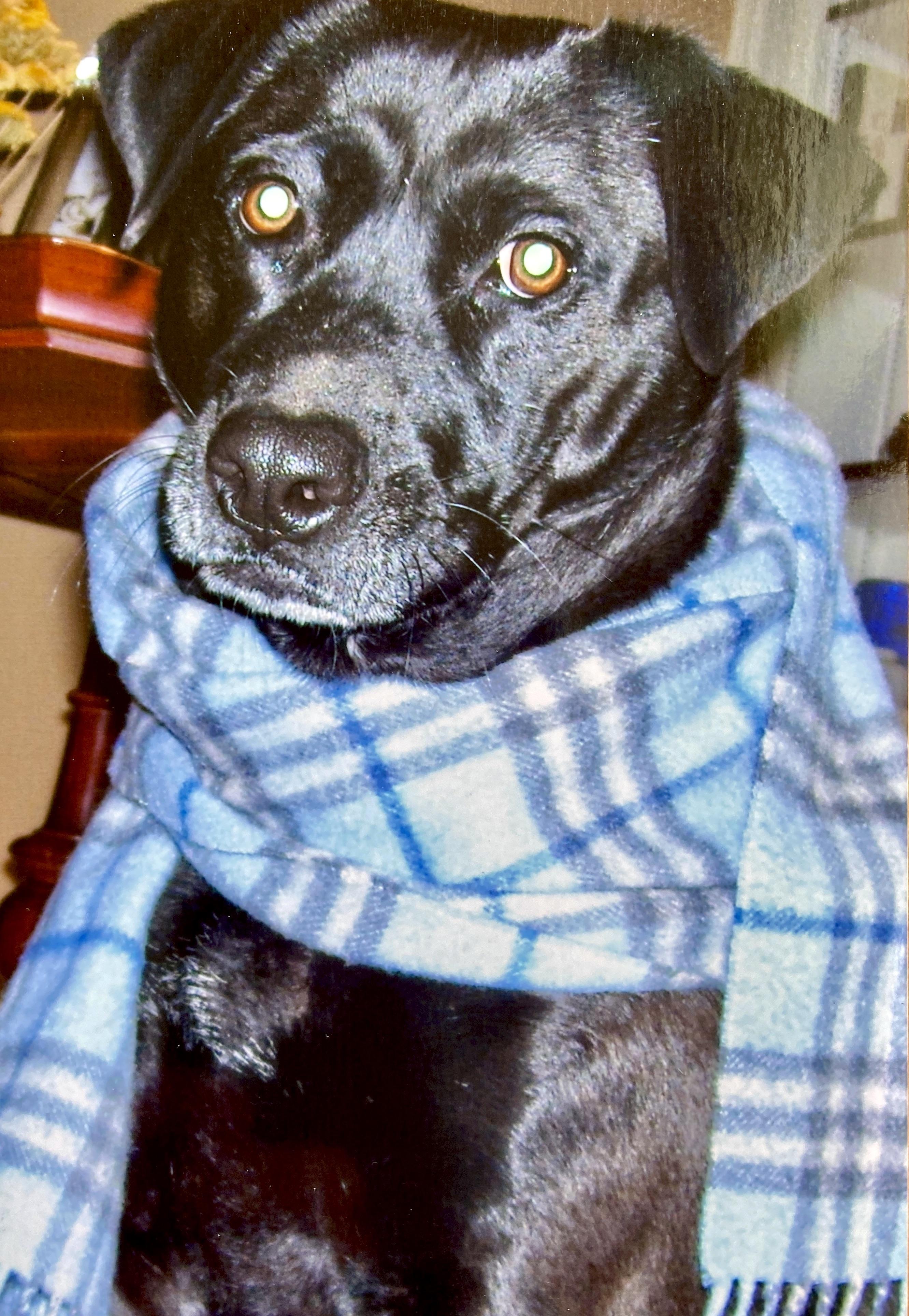 older dog wearing a scarf
