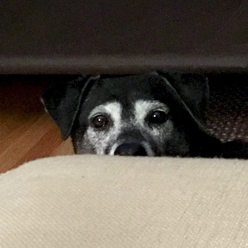 black dog looking over the couch
