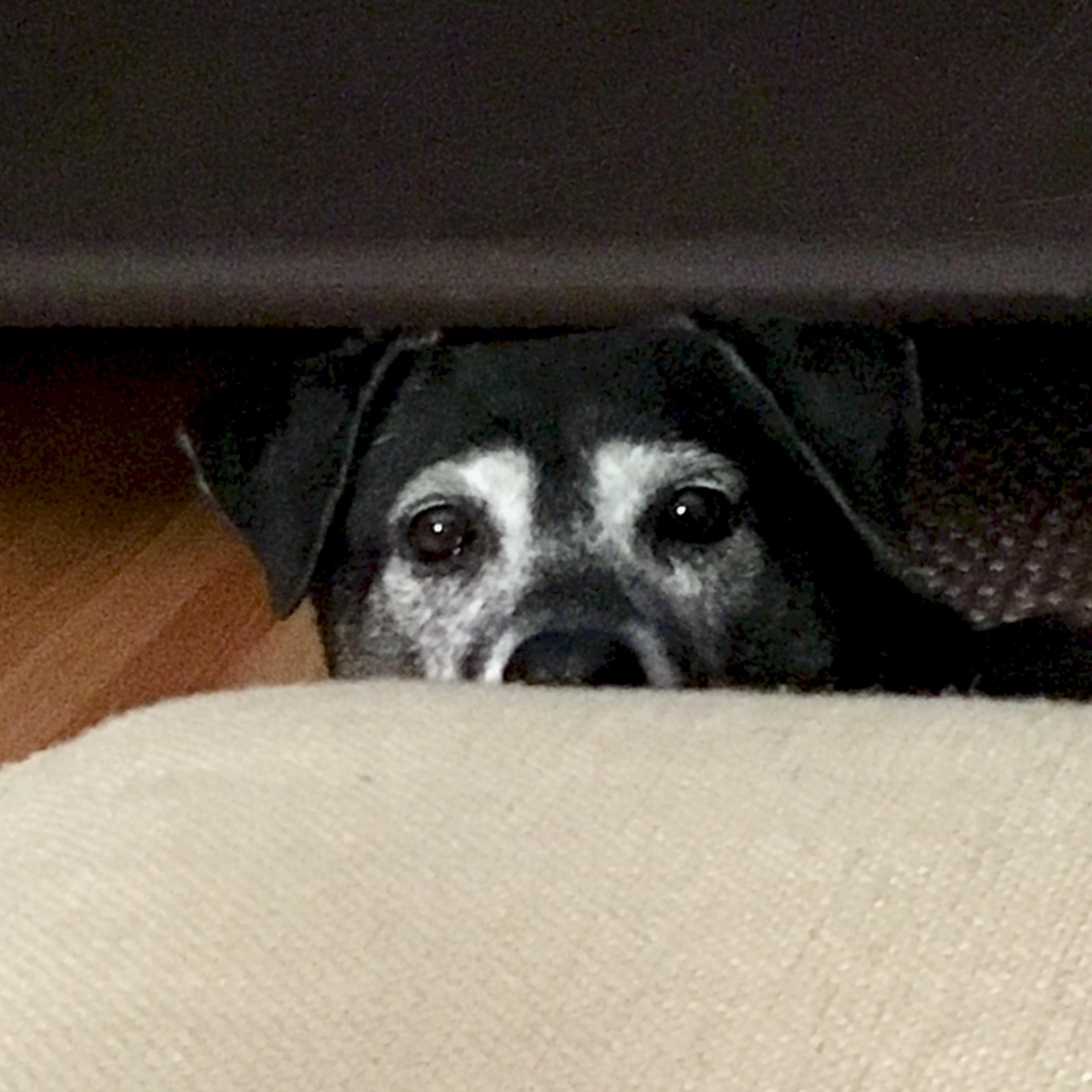 black dog peeking over edge of sofa