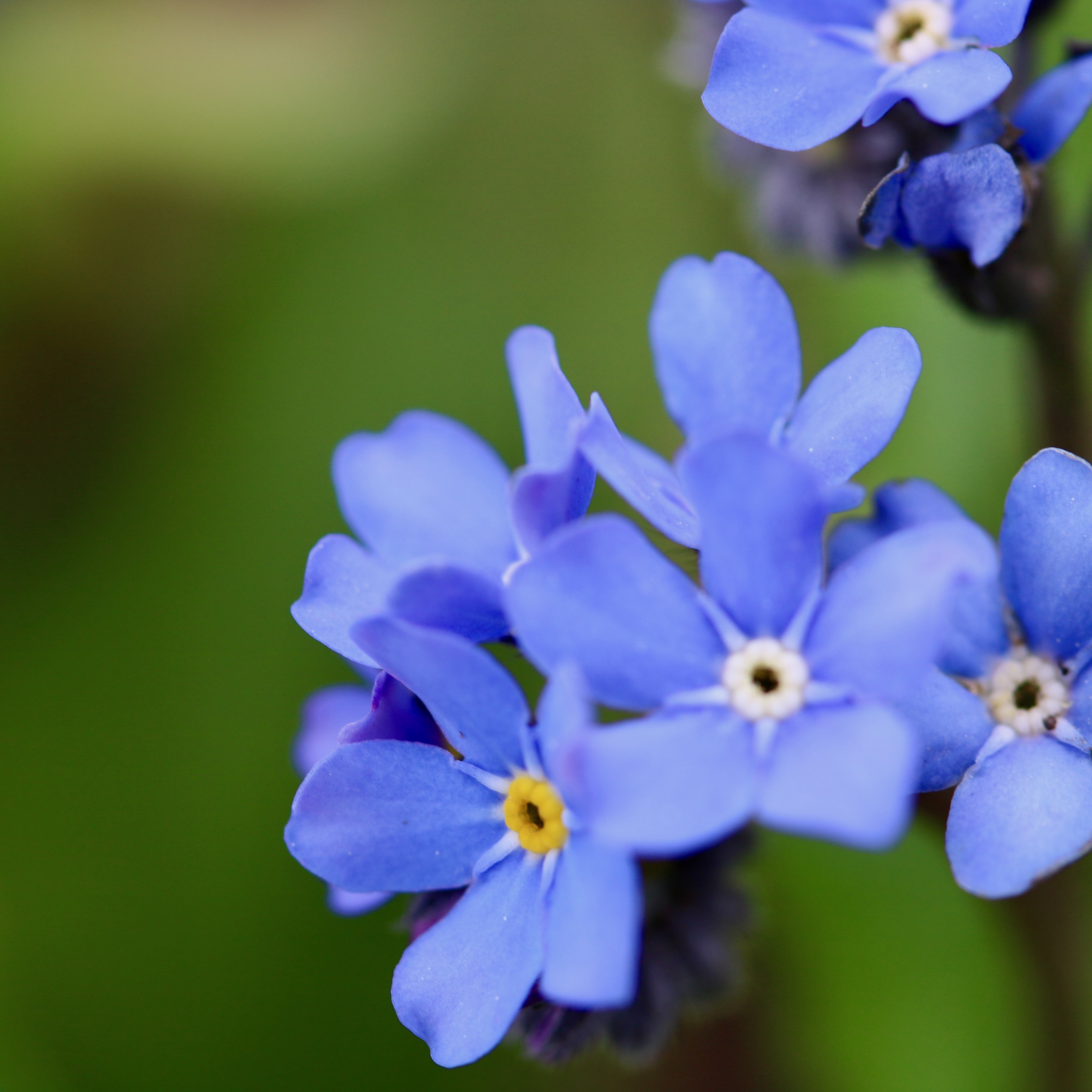 forget me not flowers in my garden