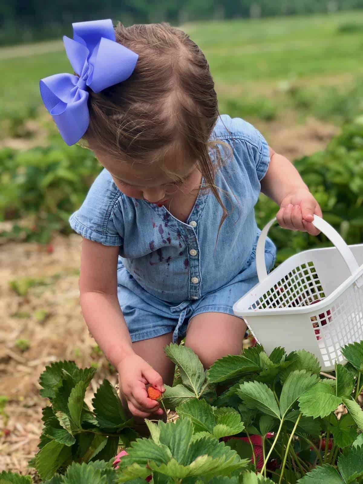 my granddaughter picking strawberries
