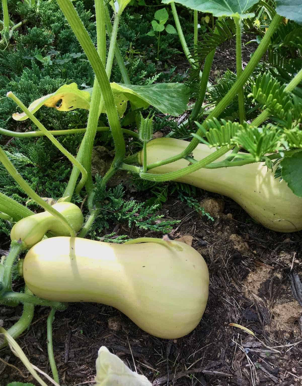butternut squash growing in garden