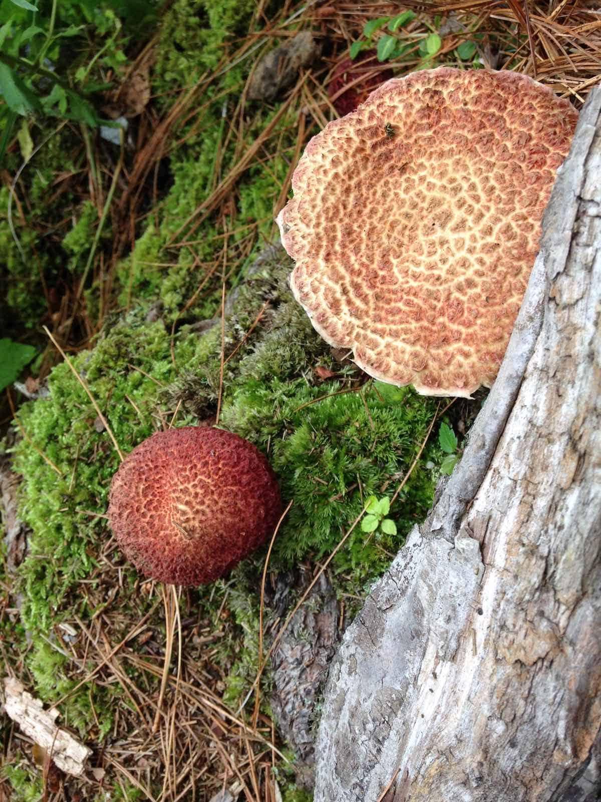 Lake Elise trail showing wild non-edible mushrooms