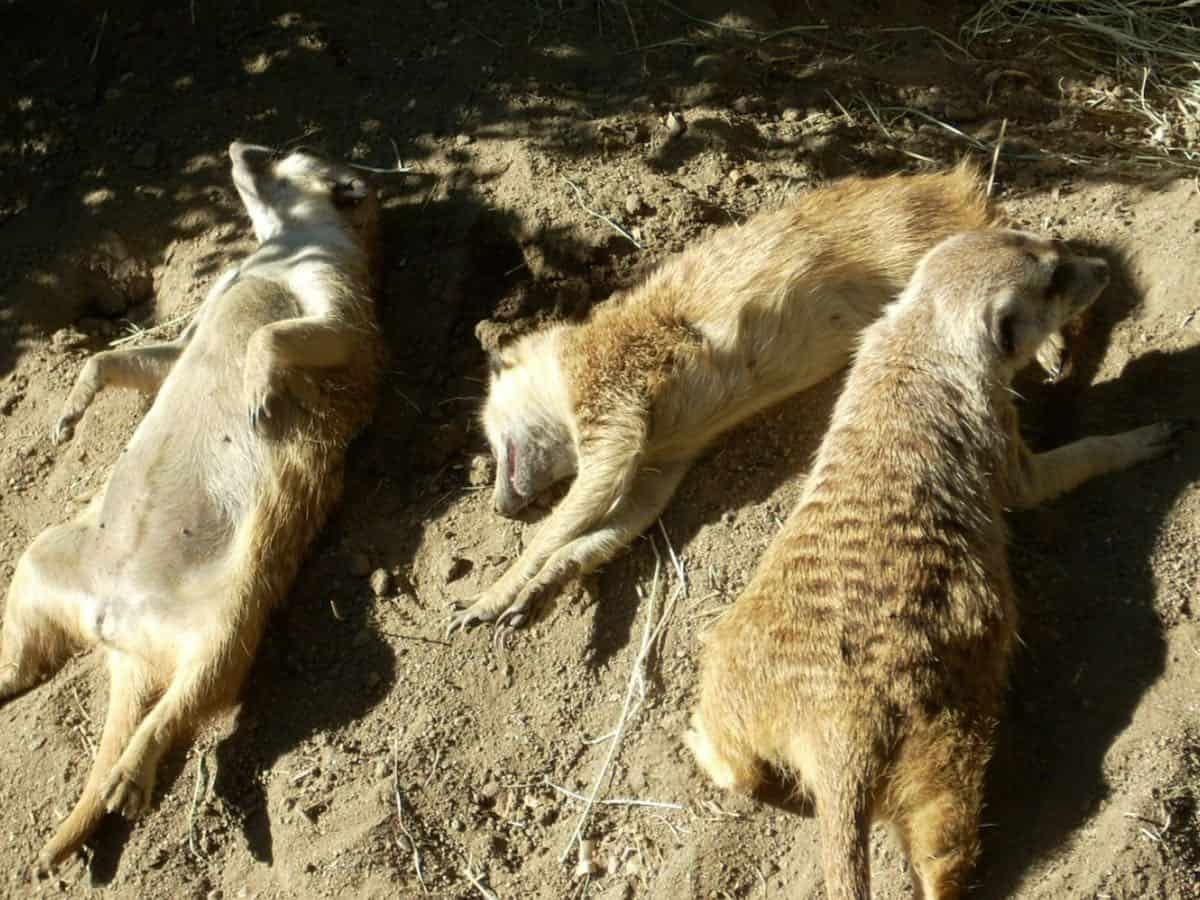 3 sleeping meerkats