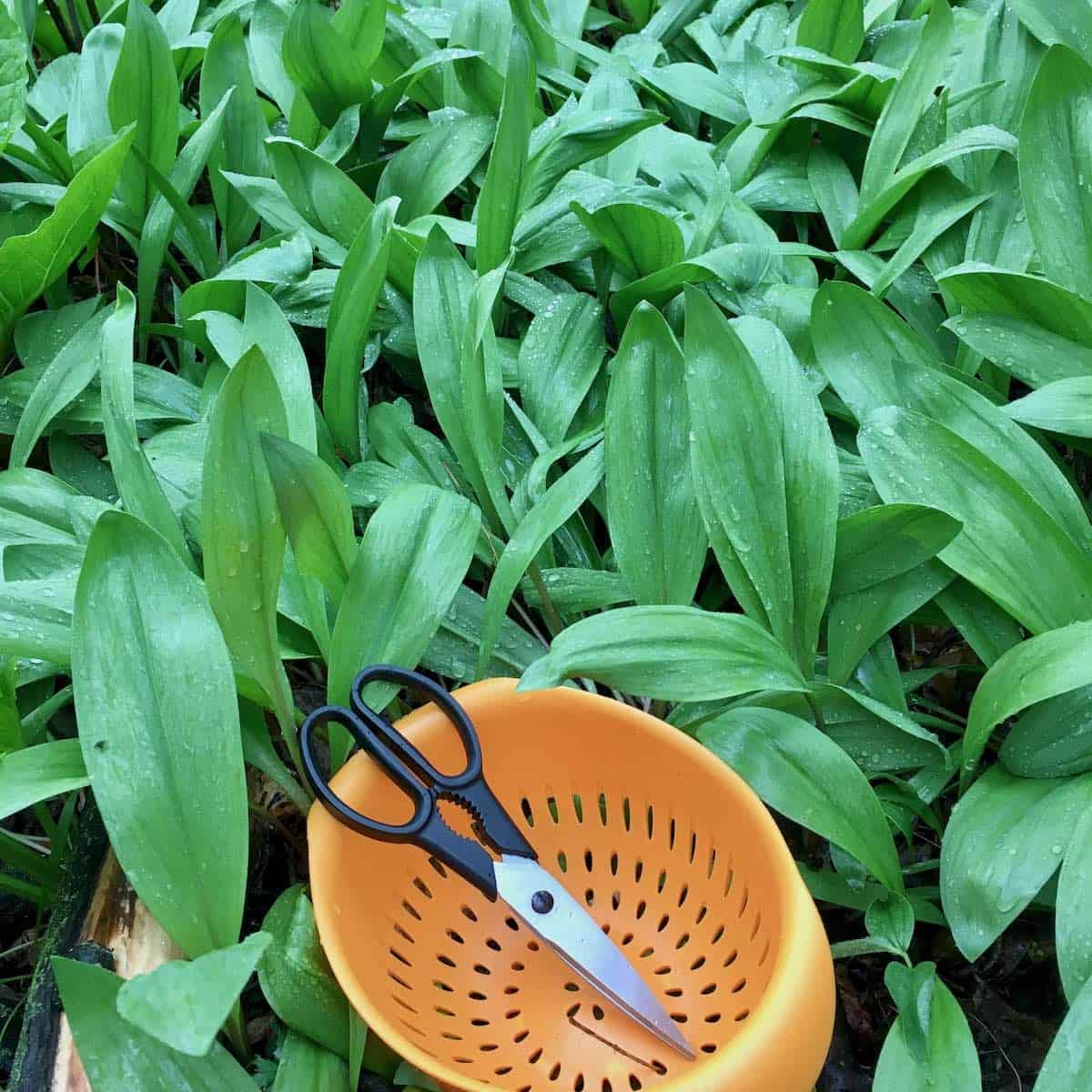 a field of wild ramps with scissors and colander