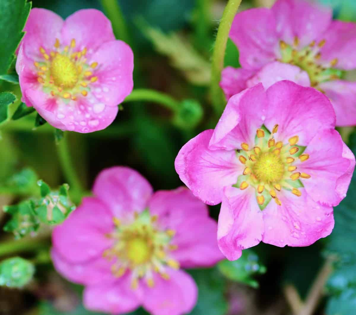 pink strawberry flowers