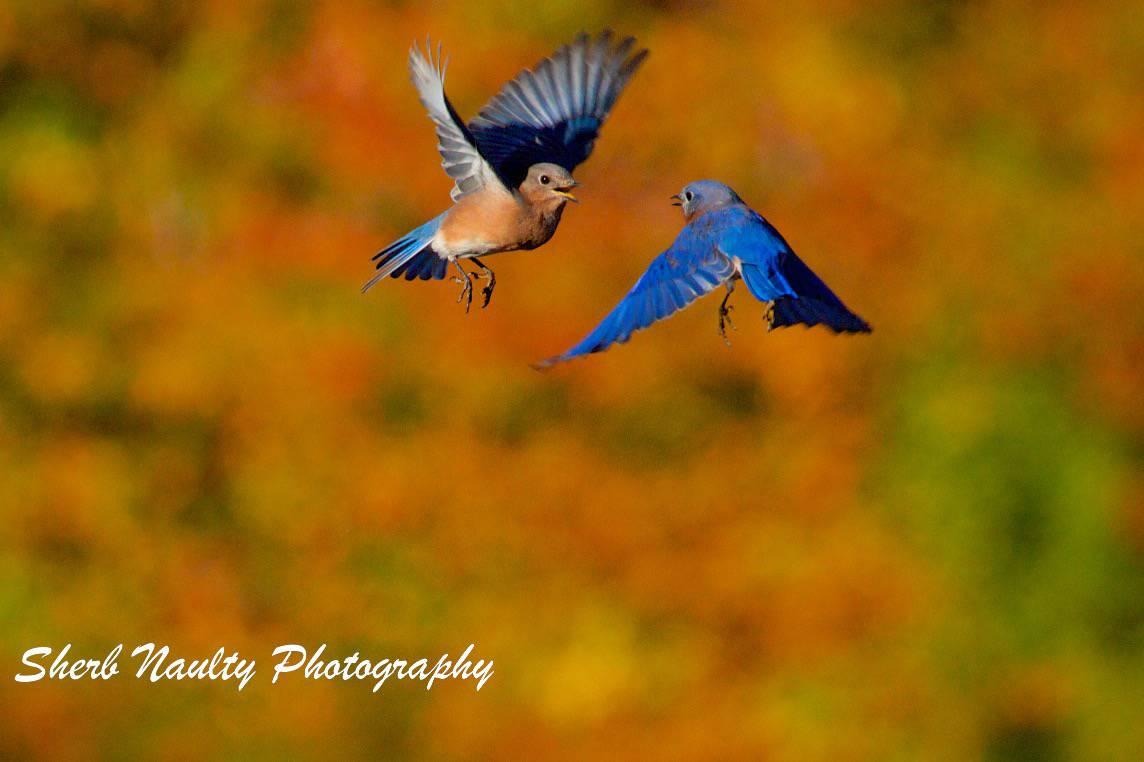 Blue birds in flight