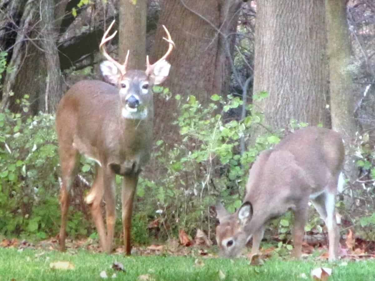 Buck and doe in my yard