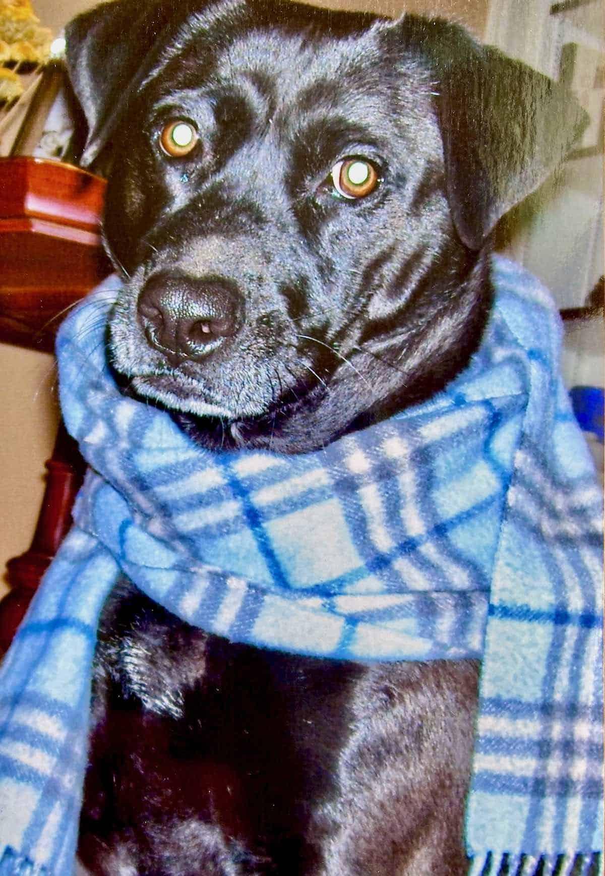 older dog laying down wearing scarf