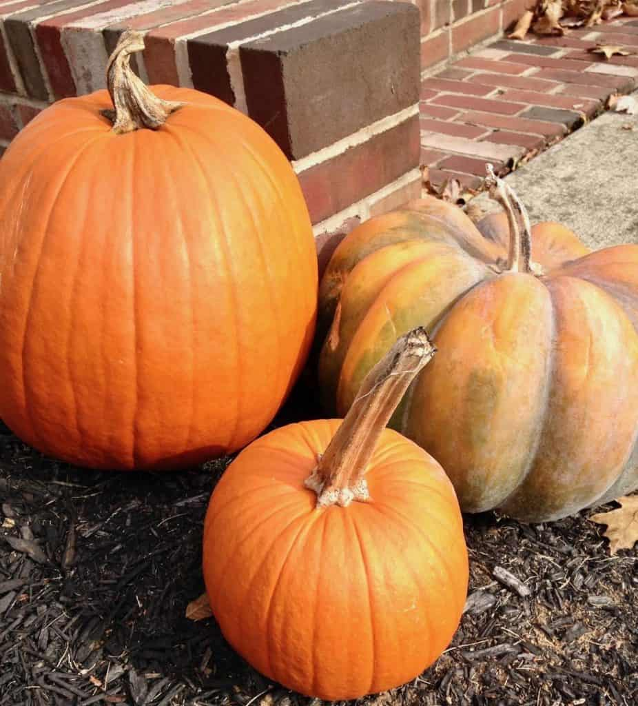 pumpkins in the yard for making a pumpkin harvest torte