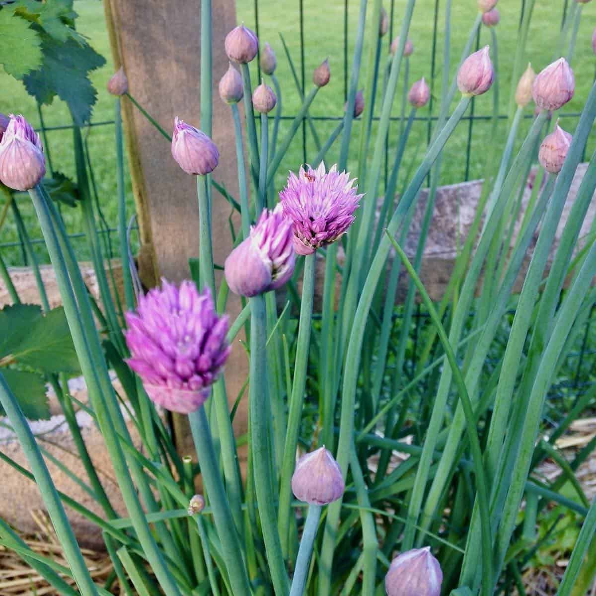 fresh chives and flowers