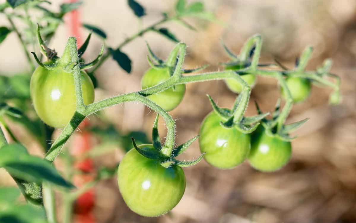 tomato plants growing in the garden