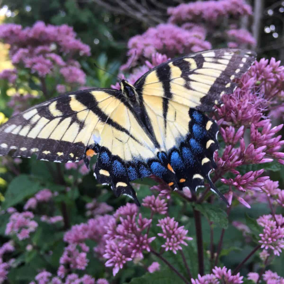 butterfly on Joe pye weed