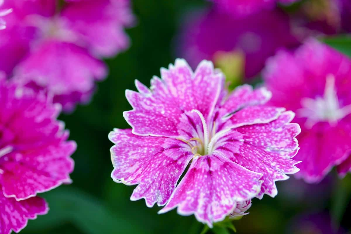 does your garden grow beautiful garden pink dianthus